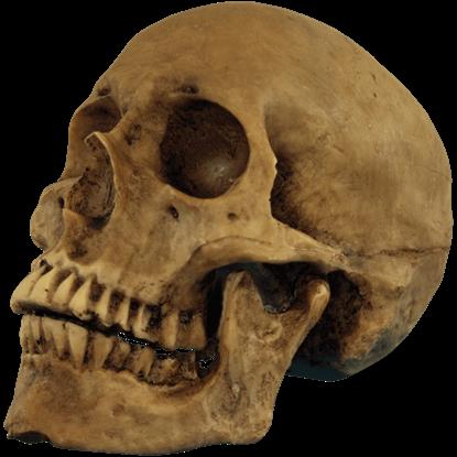 Resin Cranium